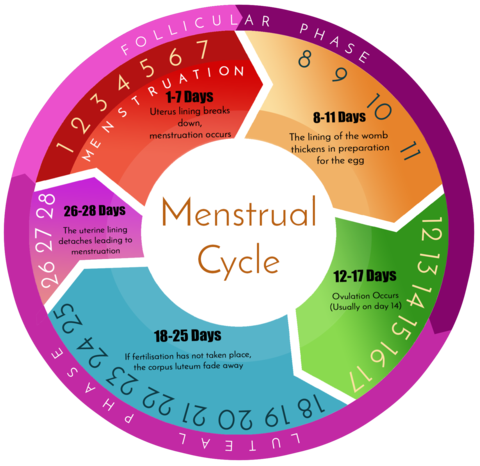the menstrual cycle The female reproductive system includes a cycle of events called the menstrual cycle it lasts about 28 days, but it can be slightly less or more than this the cycle stops while a woman is .