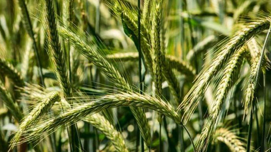 ryegrass for enlarged prostate